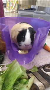 """Adult Male Small & Furry - Guinea Pig: """"Doc"""""""