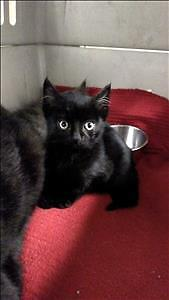 """Baby Male Cat - Domestic Short Hair: """"Dally"""""""