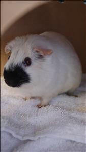 """Young Female Small & Furry - Guinea Pig: """"Aspen"""""""