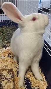 "Adult Female Rabbit - New Zealand: ""Shea"""