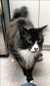 """Adult Male Cat - Domestic Medium Hair: """"Oden"""""""
