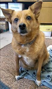 Adult Female  - Australian Cattle Dog (Blue Heeler)-Chihuahua