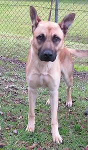 Belgian Shepherd x Mastiff in URGENT NEED OF HOME Campbelltown Campbelltown Area Preview