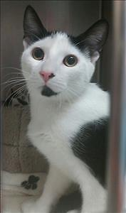 "Young Male Cat - Domestic Short Hair: ""Pete"""