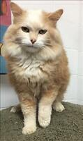 "Senior Male Cat - Domestic Long Hair: ""Ritz"""