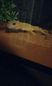 kit complet gecko leopard