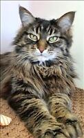 """Adult Female Cat - Maine Coon: """"Gypsy"""""""