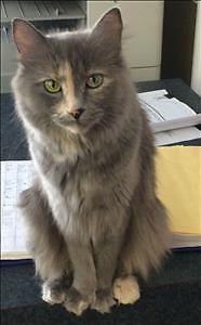 """Adult Female Cat - Domestic Medium Hair: """"Cary"""""""