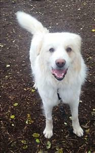 """Adult Male Dog - Great Pyrenees: """"Beethoven"""""""