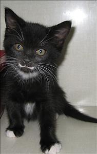 "Baby Female Cat - Domestic Short Hair: ""Stash"""
