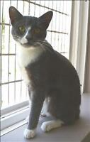 "Young Female Cat - Domestic Short Hair: ""Socks"""