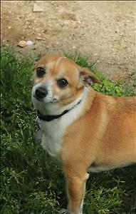 """Adult Male Dog - Chihuahua: """"Chico"""""""