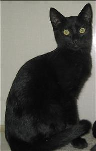 """Baby Male Cat - Domestic Short Hair: """"Panther"""""""