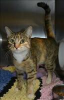 """Young Female Cat - Domestic Short Hair: """"Taylor"""""""