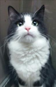 """Young Male Cat - Domestic Long Hair: """"Archie"""""""