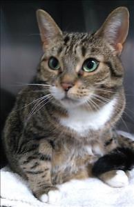 "Adult Female Cat - Domestic Short Hair: ""Nutmeg"""