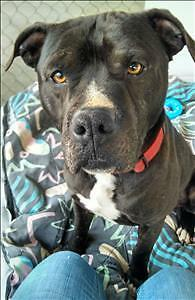 Adult Male  - Pit Bull Terrier-American Staffordshire Terrier