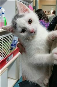 """Baby Male Cat - Domestic Short Hair: """"Sunny"""""""