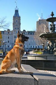 Malinois West Island Greater Montréal image 1