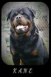 STOCKY BUILD GERMAN ROTTWEILER PUPPIES