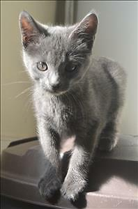 "Baby Male Cat - Domestic Short Hair: ""Max"""