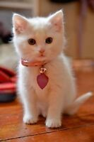 Looking for a White Kitten/ Blue eyes is necessity
