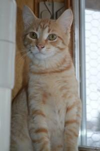 "Young Male Cat - Domestic Short Hair - orange and white: ""Nick"""