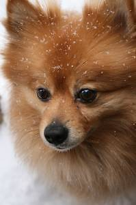 2 year old Pomeranian female