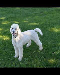 ***$500 REWARD***LOST CREAM COLOR STANDARD POODLE***