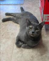 """Young Female Cat - Domestic Short Hair: """"Daphne"""""""