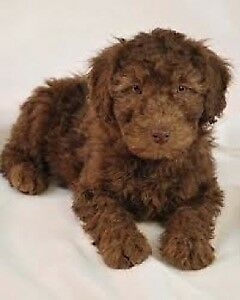 Beautiful Labradoodle puppies