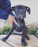 "Baby Female Dog - Cane Corso Mastiff-Boerboel: ""Rani"""