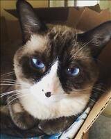 """Adult Male Cat - Siamese-Domestic Short Hair: """"Twinkle"""""""