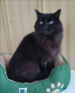 "Adult Male Cat - Domestic Long Hair: ""Cooper"""