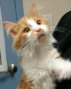 """Baby Male Cat - Domestic Long Hair: """"Phillip"""""""