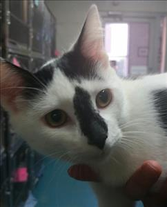 """Young Female Cat - Domestic Short Hair: """"Ellie"""""""