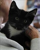 "Baby Male Cat - Domestic Short Hair: ""Francis 2"""