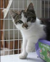 "Baby Female Cat - Domestic Short Hair: ""Andy"""