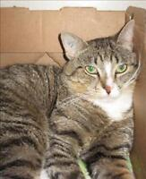 """Young Male Cat - Domestic Short Hair: """"Damon"""""""