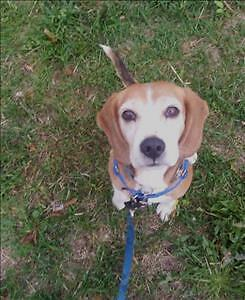 "Senior Male Dog - Beagle: ""Buddy"""
