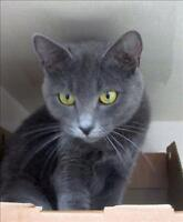 "Adult Female Cat - Domestic Short Hair: ""Agatha"""