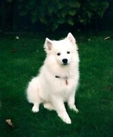 Looking to adopt a Samoyed or an American Eskimo