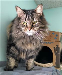Senior Female  - Domestic Long Hair