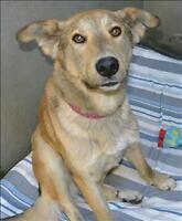 "Young Male Dog - Husky-German Shepherd Dog: ""Sterling"""