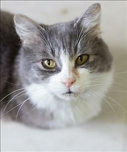 "Senior Female Cat - Domestic Medium Hair: ""Munk"""