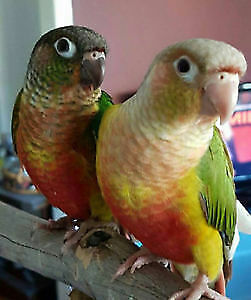 ❤️⭐Friendly⭐Conures with Cage❤️⭐❤️