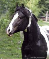 Registered Drum Stallion available for 2015 breeding