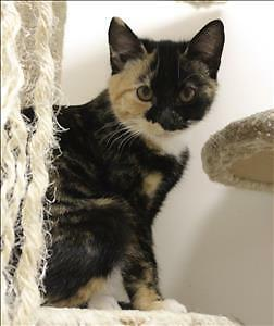 "Baby Female Cat - Domestic Short Hair: ""Mariea"""