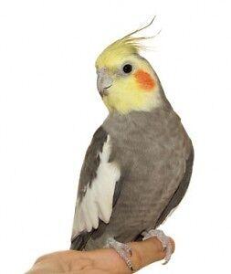 Male Cockatiel NEED GONE ASAP!