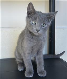 "Baby Male Cat - Domestic Short Hair: ""Marina"""